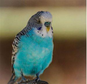 Chico the Talking Parakeet