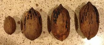 pecan sizes