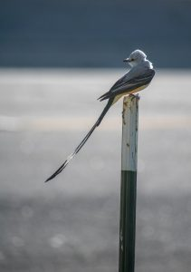 Beautiful Scissor-tail Flycatcher